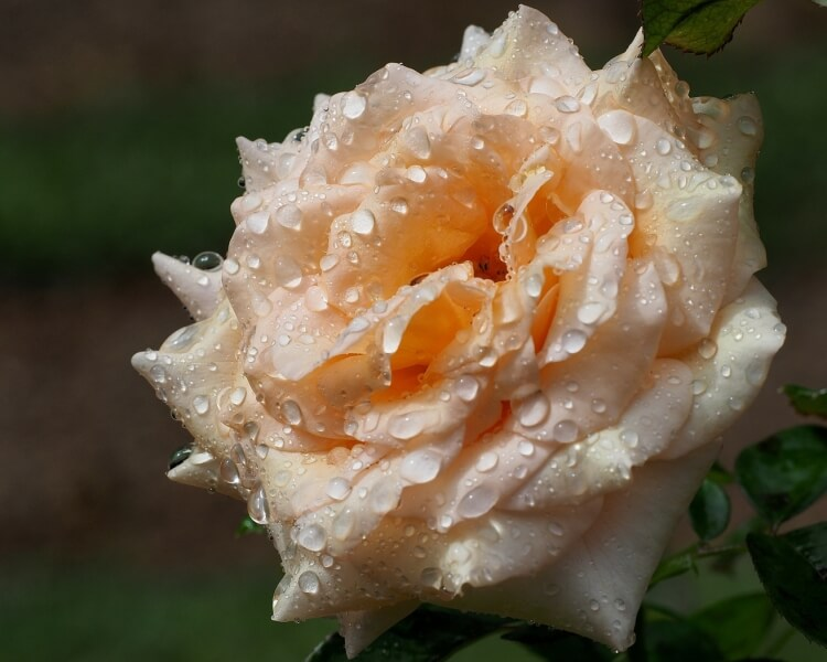 Merit For Rose With Raindrops By Amanada Williams