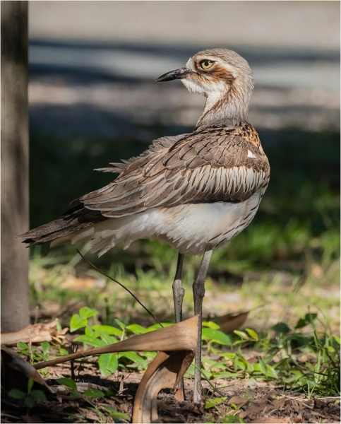 Merit For Bush Stone Curlew At Our Camp By Russell Dickson