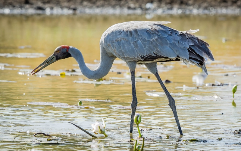 Merit For Brolga By Bruce Martin