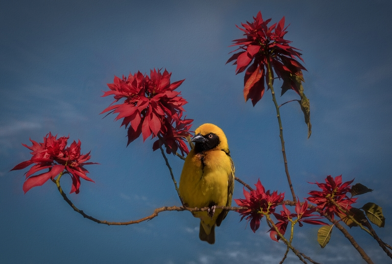 Merit For Yellow Bird On Red Branch 3 By Sam Fernando