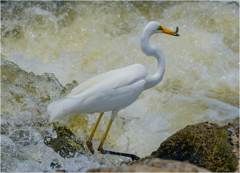 Honour For Great Egret Fishing In The Foam By Russell Dickson