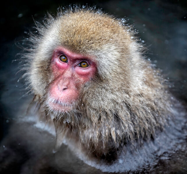 Merit For Snow Monkey By Sandra Anderson
