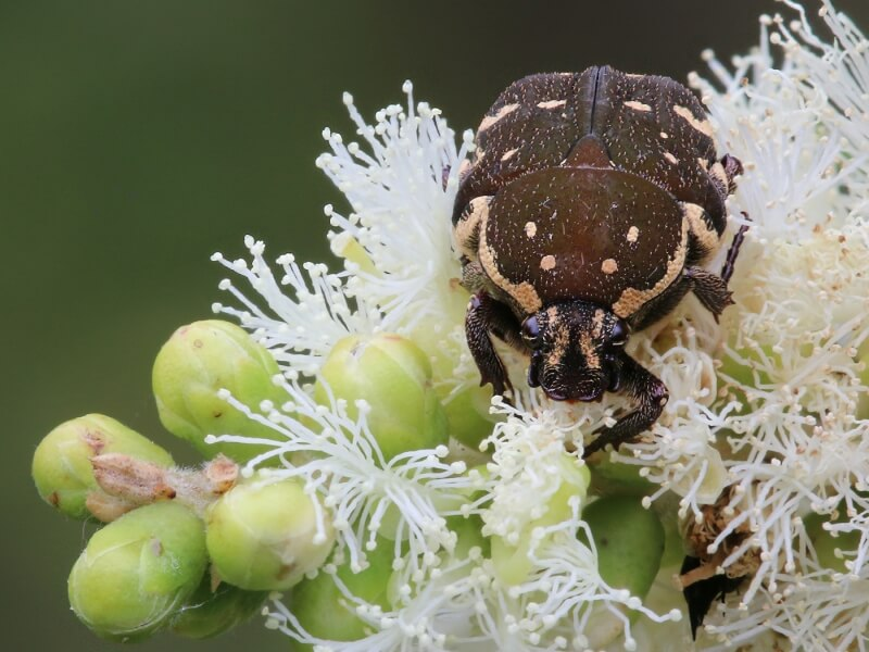 Merit For Brown Flower Beetle By Ann Smallegange