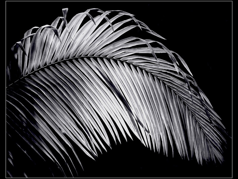 Merit For A065 Palm Fronz  Jpg By Joyce Metassa