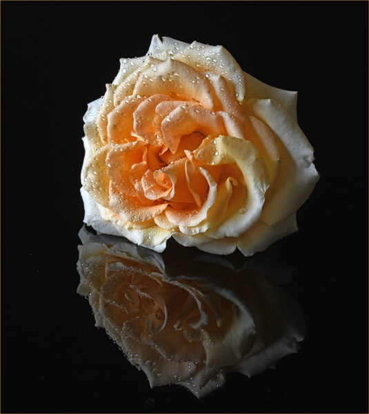 Honour For Apricot Rose By Lesley Clark