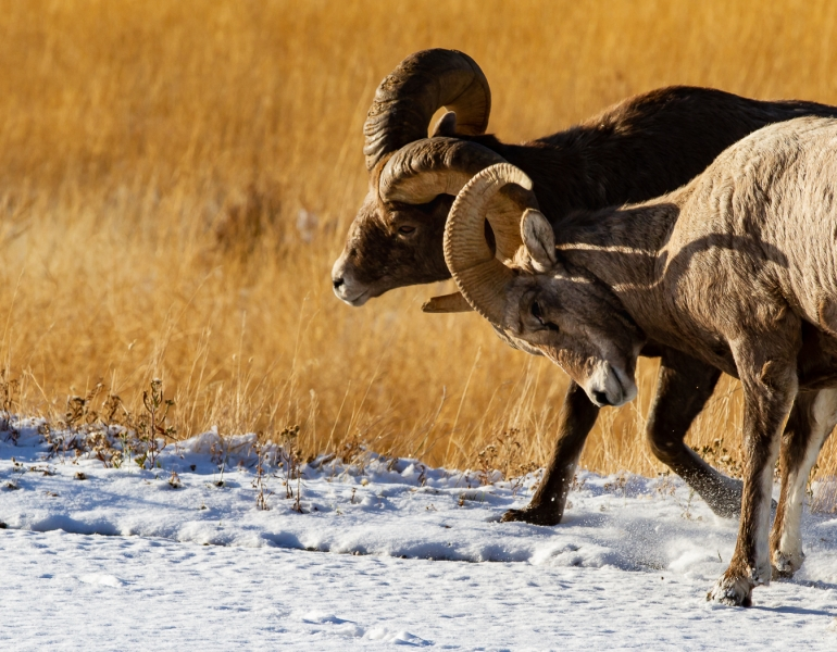 Honour For Big Horn Sheep By Jan Sharples