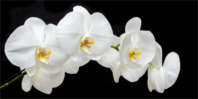 Honour For White Orchids By Suzanne Edgeworth
