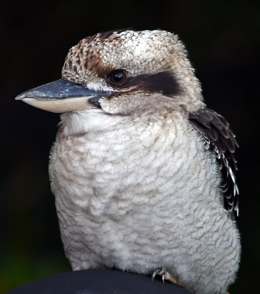 Merit For Kookaburra By Frank Dalgity