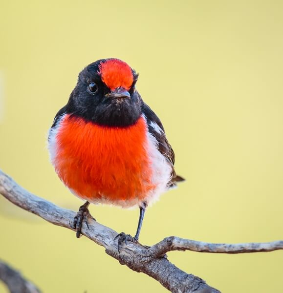 Merit For Red Capped Robin By Bruce Martin