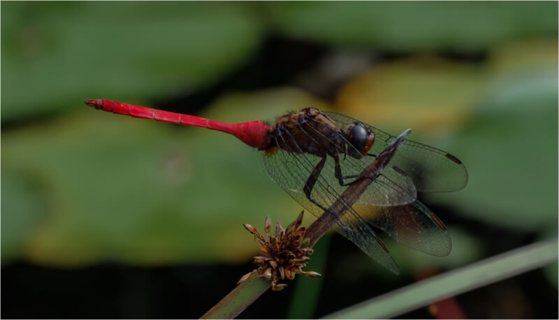 Merit For Red Tailed Dragonfly Watches And Waits By Russell Dickson
