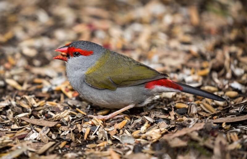 Merit For Red Browed Finch By Nadia Filiaggi