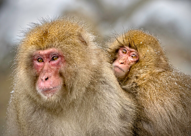 Merit For Snow Monkey 3 By Sandra Anderson