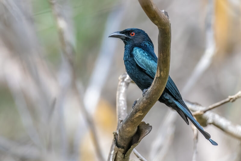 Merit For Spangled Drongo By Jefferey Mott