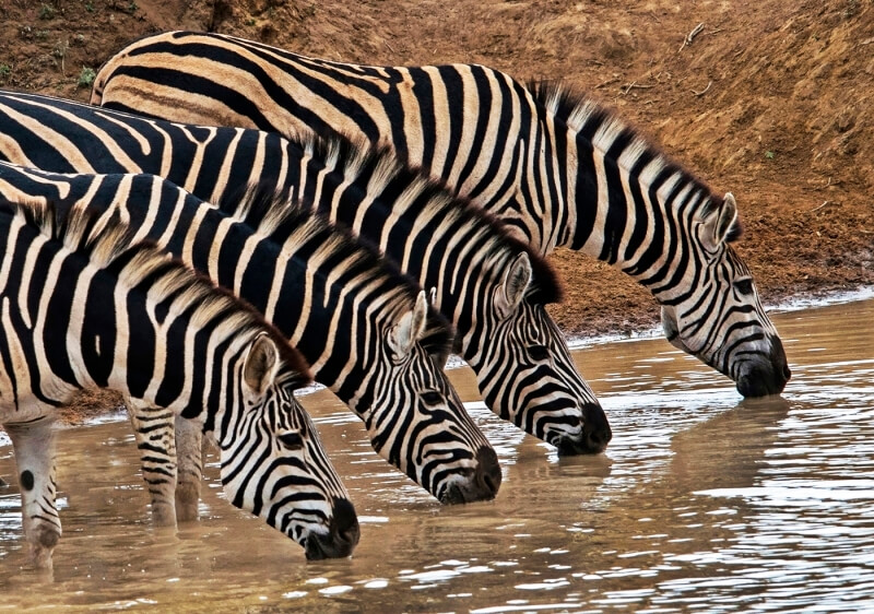 Merit For Thirsty Zebras By Lesley Clark