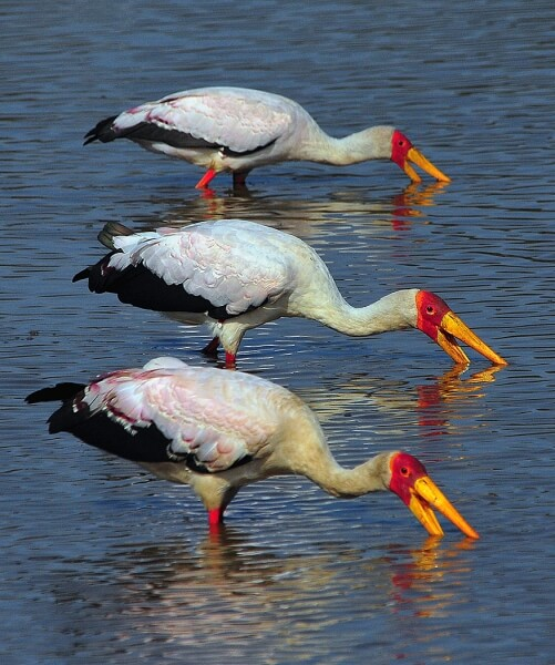 Merit For Yellow Billed Storks By Frank Dalgity