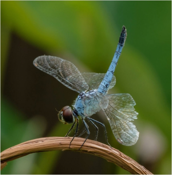 Honour For A Battered Blue Dragonfly Rests By Russell Dickson