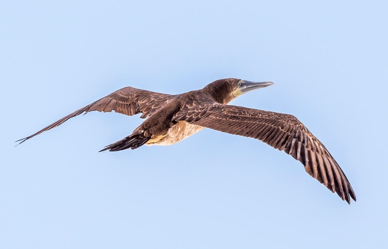 Merit For A029 Brown  Booby  In Flightjepg By Bob Garnett