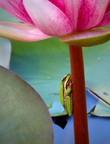 Honour For Sedge Frog On Lily Stalk By Ann Smallegange