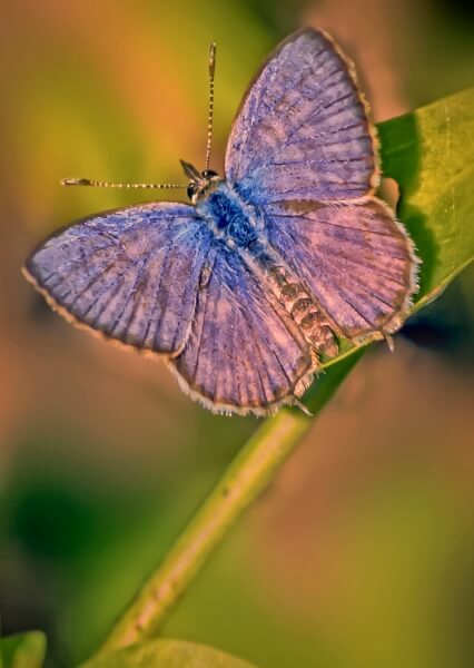 Merit For Blue Butterfly By Margaret Yeo