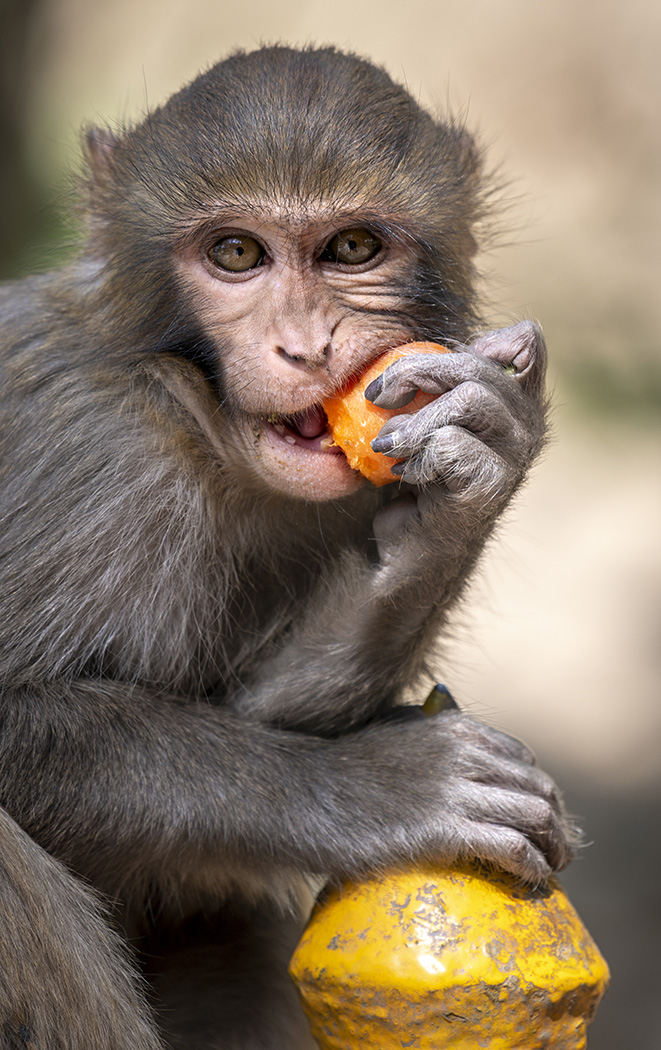 Honour For Munching A Carrot At Swayambhunath By Jefferey Mott