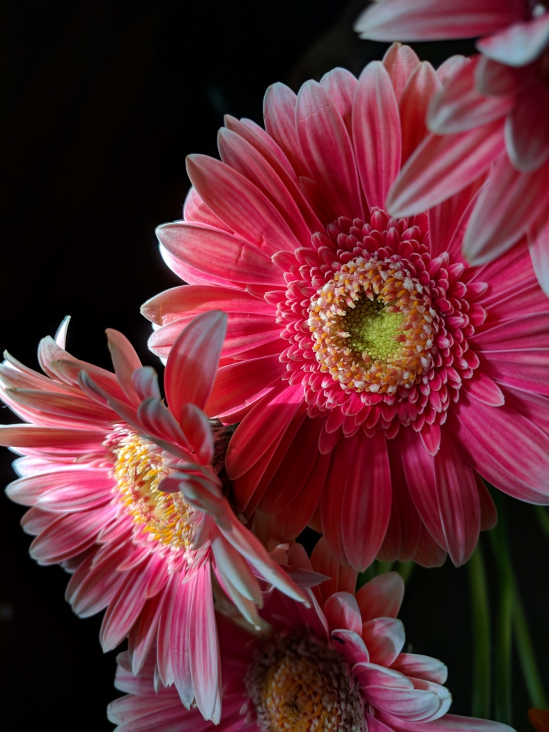 Merit For Pink Gerberas By Trudi Aykens