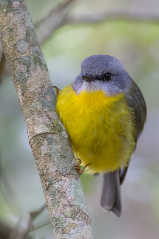 Honour For Eastern Yellow Robin By Chris Ross