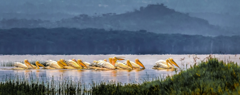 Merit For Pelicans Of Lake Naivasha By Lekha Suraweera