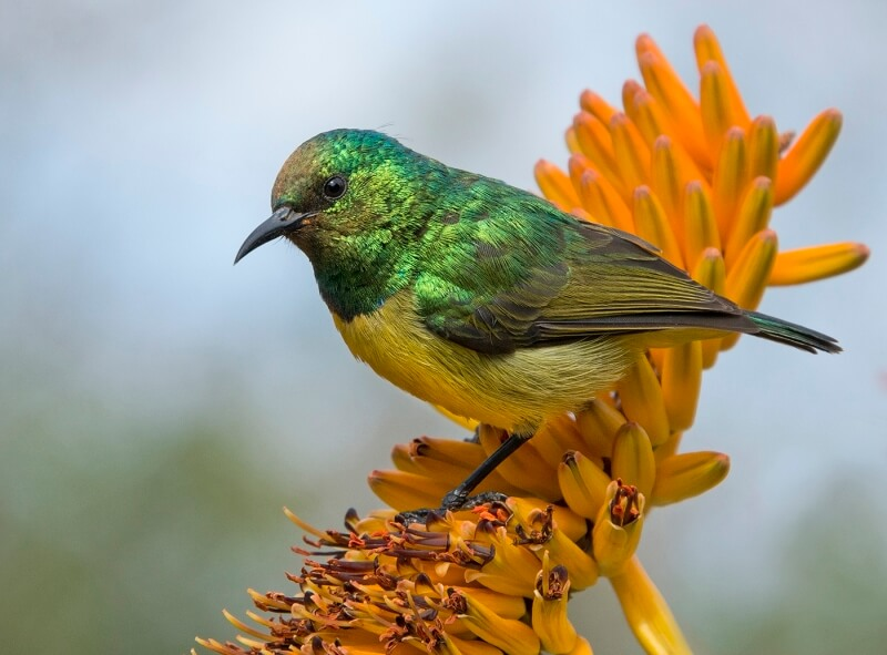 Merit For Male Collared Sunbird By Lesley Clark