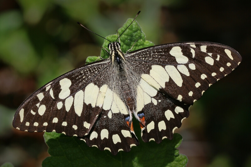 Merit For Chequered Swallowtail Basking By Ann Smallegange
