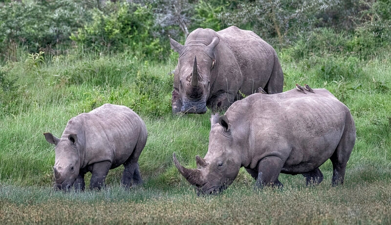 Merit For White Rhino Family By Sandra Anderson
