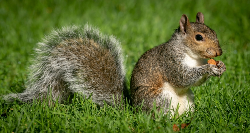 Merit For Boston Squirrel By Jefferey Mott