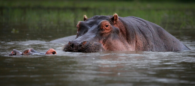 Honour for Hippo mating 3 by Sam Fernando