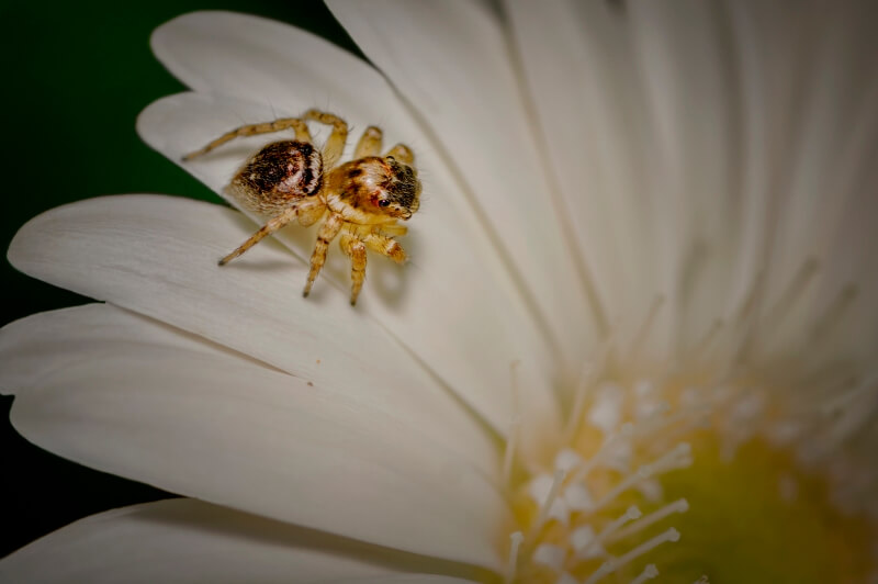 Honour For Jumping Spider By Margaret Yeo