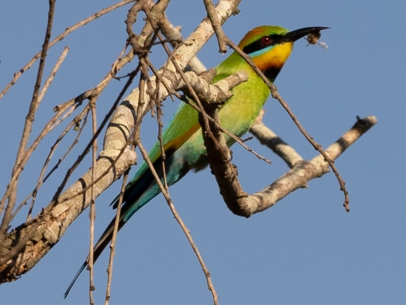 Merit For Rainbow Bee Eater With Bee By Dorothy Harkins