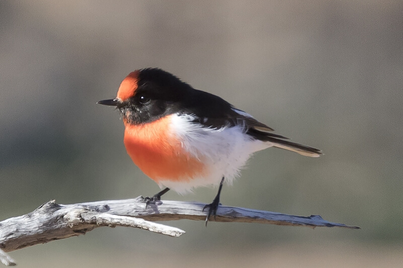 Merit For Red Capped Robin By Liann Haaima