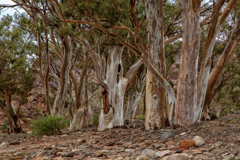 Merit For Red Gums 2 By Lekha Suraweera