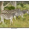 Zebras Three of a Kind   Set Subject    Honour    A Grade By   Jan Kazakoff