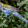 Pale Headed Rosella Open SubjectHonour  A Gold Grade By Sandra Anderson
