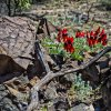 Sturts desert pea in the Flinders Ranges  Open Subject  Merit   B Grade By Margaret Yeo
