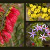WA Wildflowers  Set Subject  Honour   A Grade By  Ann Smallegange
